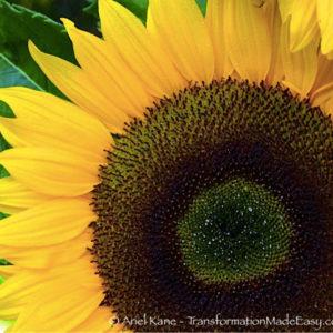 sunflower-big